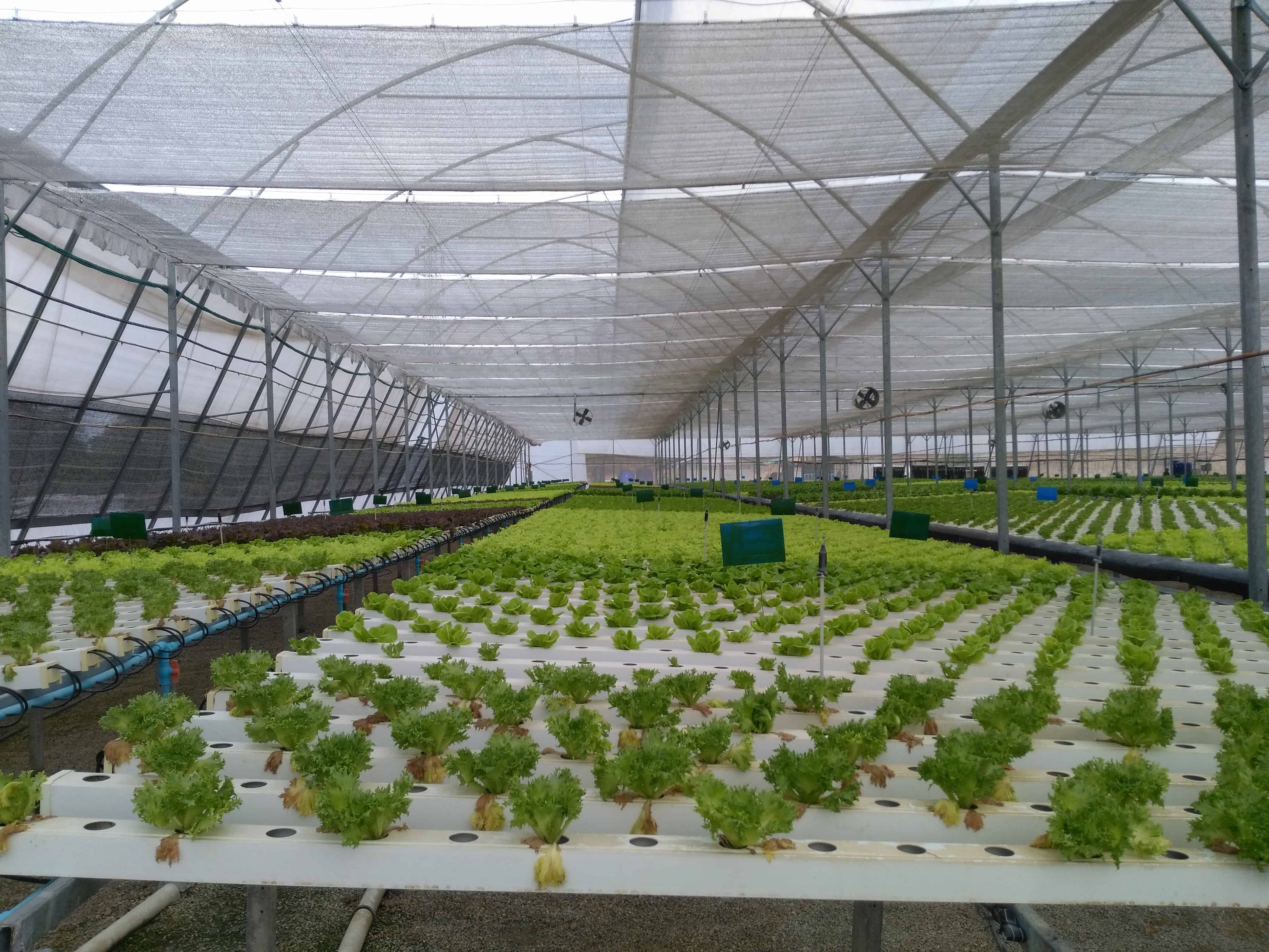Taweephol – Hydroponic Vegetable, Thailand